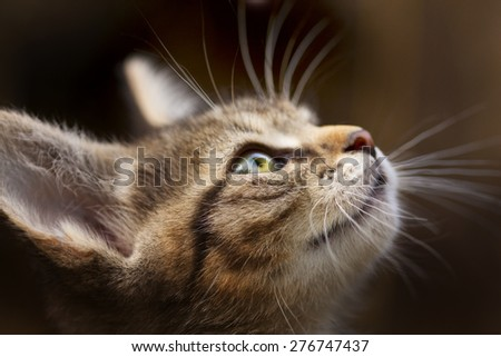 kitten with beautiful eyes , muzzle kitten closeup cat closeup on the blurry background - stock photo