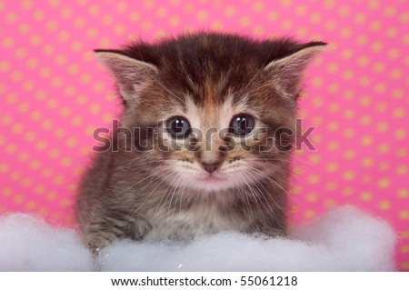 Kitten with fluffy white cotton on pink polka dot background - stock photo