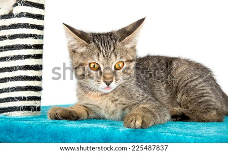 kitten with his pink tongue lies on the blue soft surface - stock photo