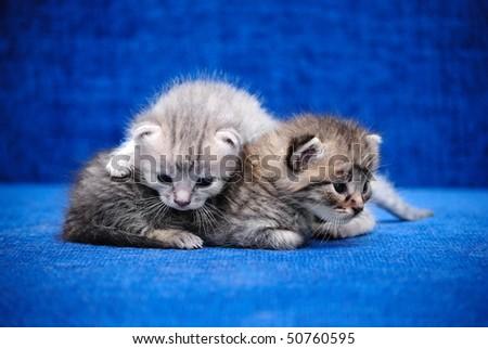 Kittens play a dark blue background - stock photo