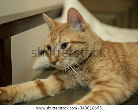 Kitty cat waking up from nap on chair - cute striped Tabby - stock photo