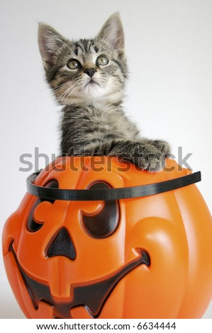 Kitty in Pumpkin - stock photo