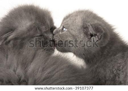 kitty,love,valentine,grey,scottish,fold,furry,soft - stock photo