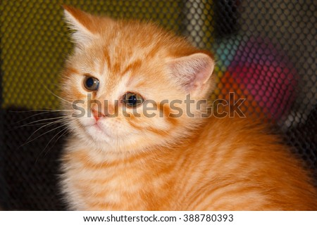Kitty tabby peach striped color. Home small pet cat. British kitten color gold on silver. Kitten near the cat's house. - stock photo