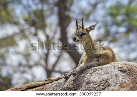 Klipspringer in Kruger national park,South Africa ; Specie Oreotragus oreotragus family of Bovidae - stock photo