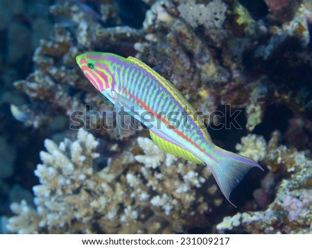 Klunzinger`s wrasse in Red sea, Egypt - stock photo