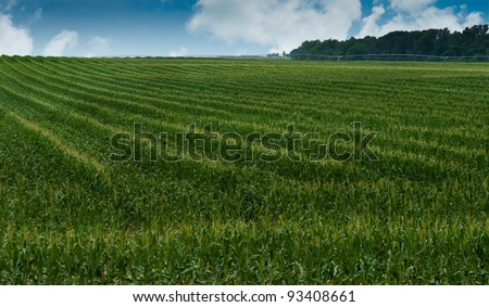 Knee High by Mid-July - field of seed corn grows under summer skies - stock photo