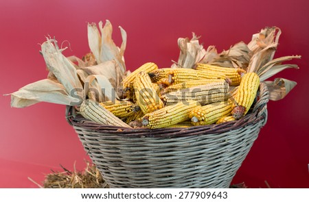 Knitted basket full of corn cobs with husks on red wall - stock photo