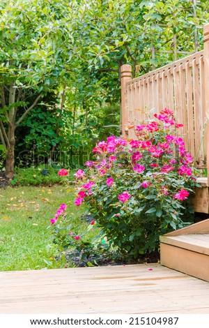 Knock out rose bush in the garden at backyard near patio, selective focus - stock photo