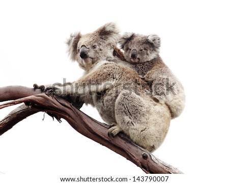 Koala and joey isolated against white - stock photo