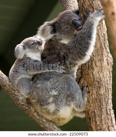 Koala baby on its mother's back - stock photo