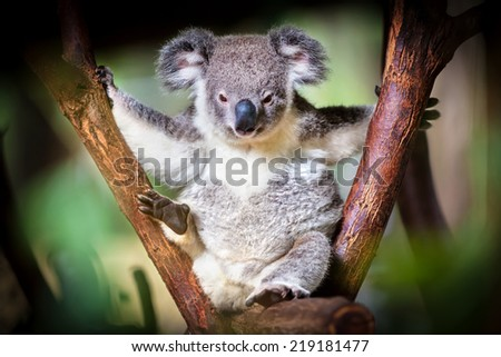 Koala bear sitting on a trunk with green and black background - stock photo