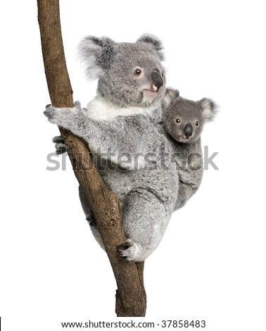 Koala bears climbing tree, 4 years old and 9 months old, Phascolarctos cinereus, in front of white background - stock photo