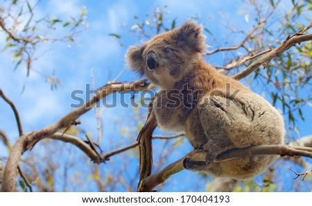 Koala in Great Ocean Road, Victoria, Australia  - stock photo