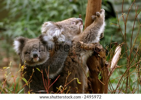 Koala mother with her child - stock photo