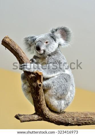 Koala on a tree, selective focus.  - stock photo