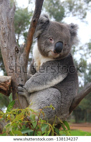 Koala on an eucalyptus - stock photo
