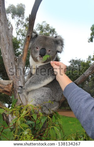 Koala on an eucalyptus and a human hand reaching to it with a leaf - stock photo
