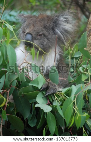 Koala sits on a branch and eats leaves at Healesville Sanctuary, Victoria, Australia - stock photo