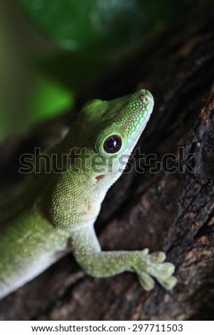 Koch's giant day gecko (Phelsuma madagascariensis kochi), also known as the Madagascar day gecko. Wildlife animal.  - stock photo