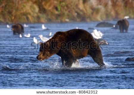 kodiak brown bear looking for salmon in the river - stock photo
