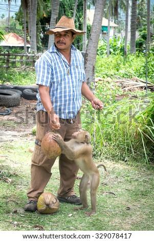 Koh Samui, Thailand - JUNE 26: Monkey theatre in Koh Samui island, Thailand on June 26 2015. Monkeys work for humans in the harvesting of coconuts. - stock photo