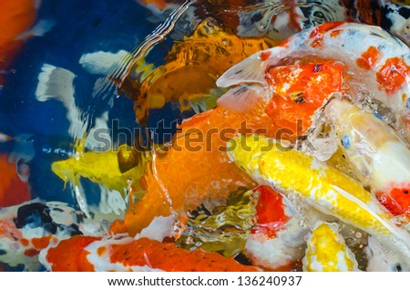 Koi Carp in a pond - stock photo