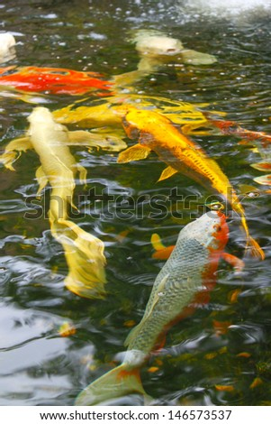 Koi fish in a pond - stock photo
