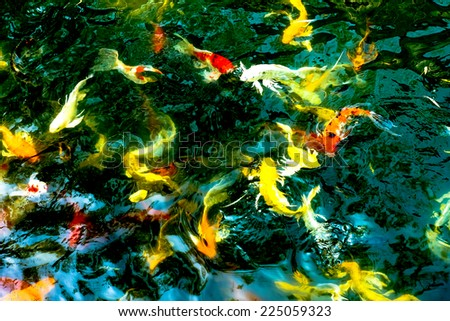 Koi fish in dark pond,colorful natural background - stock photo