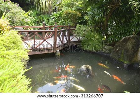 Koi fish in pond   - stock photo