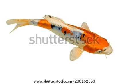 Koi fish isolated on white background - stock photo