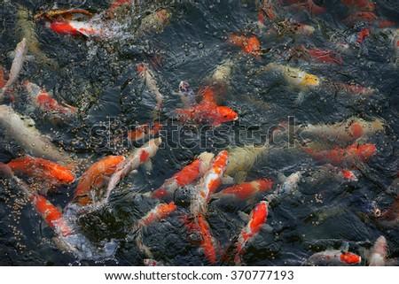 Koi fish swimming in a water garden - stock photo