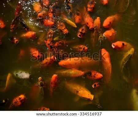 Koi fish waiting to be fed - stock photo