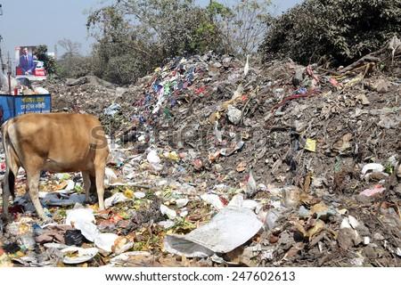 KOLKATA, INDIA - FEBRUARY 09: Streets of Kolkata. Animals in trash heap in Kolkata, India on February 09, 2014. - stock photo