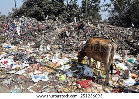 KOLKATA, INDIA - FEBRUARY 09, 2014: Streets of Kolkata. Animals in trash heap in Kolkata, India on February 09, 2014 - stock photo