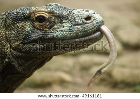 komodo dragon head close up - stock photo