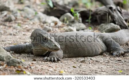 Komodo dragon, Komodo national park, Indonesia - stock photo
