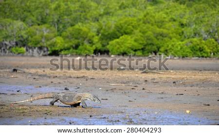 Komodo Dragon (Varanus komodoensis), Rinca Island, Komodo National Park, Indonesia, Southeast Asia - stock photo