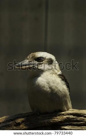 Kookaburra (Dacelo novaeguineae) - stock photo