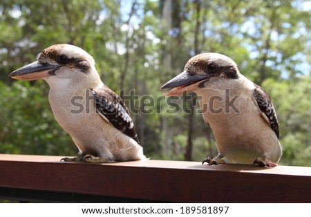 Kookaburras (genus Dacelo)/Friendly Kookaburras/A pair of friendly Kookaburra sit on a balcony rail in Queensland Australia. - stock photo