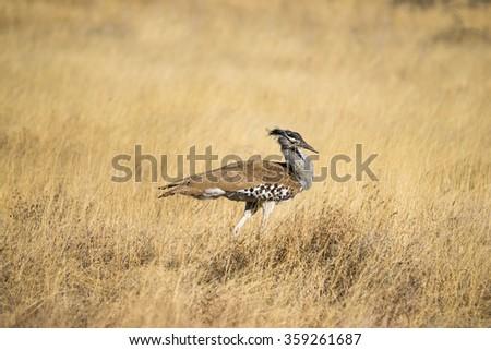 Kori Bustard (Ardeotis kori) walking in the grasslands of Etosha in Namibia, Africa. - stock photo