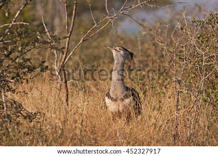 kori bustard, Kruger national park, South Africa - stock photo
