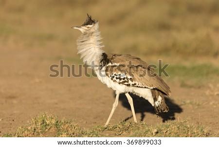 Kori Bustard showing display behaviour, Serengeti National Park, Tanzania - stock photo