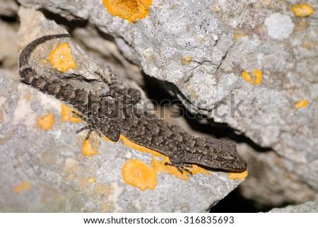 Kotschy's gecko (Cyrtopodion kotschyi) in its natural habitat in Apulia, Italy - stock photo