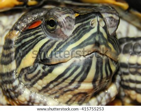 Krasnouhov freshwater sea turtle closeup - stock photo