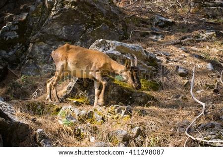Kri Kri goat in Samaria gorge, Crete, Greece - stock photo