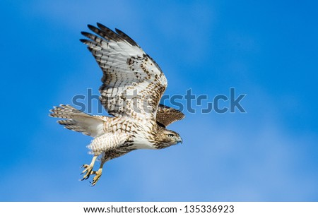 Krider's red-tailed hawk at take off on a clear day in Louisville, Colorado - stock photo