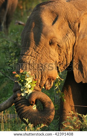 Kruger Elephant Bull - stock photo