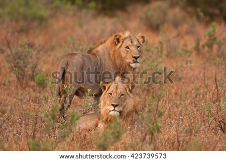 Kruger - lion - panthera leo - South africa - stock photo