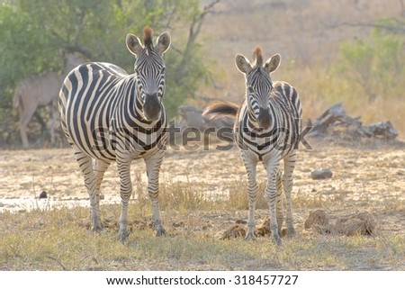 Kruger National Park Plains Zebra Equus quagga - stock photo